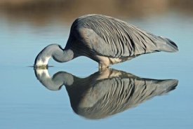 Jonathan Harrod - White-faced Heron striking at prey, Avon Heathcote Estuary, Christchurch, New Zealand