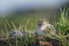 Jonathan Harrod - Black-winged Stilt newly hatched chick sits on nest with remaining eggs, Christchurch, New Zealand