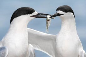 Jonathan Harrod - White-fronted Tern in courtship display, Avon Heathcote Estuary, Christchurch, New Zealand