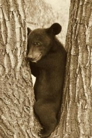 John Holmes - Asiatic Black Bear four month old cub, resting in tree, Sichuan, China