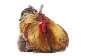 Gerard Lacz - Domestic Chicken, Partridge Brahma, cockerel, sitting