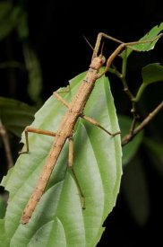 Ch'ien Lee - Stick insect, North Maluku, Indonesia