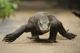 Ch'ien Lee - Komodo Dragon walking, Nusa Tenggara, Indonesia
