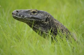 Ch'ien Lee - Komodo Dragon in grass, Nusa Tenggara, Indonesia