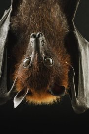 Ch'ien Lee - Large Flying Fox roosting, Kuching, Borneo, Malaysia