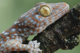 Ch'ien Lee - Tokay Gecko juvenile showing vertical pupil, Uthai Thani, Thailand