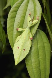 Ch'ien Lee - Walking Stick juvenile camouflaged on leaf, Sarawak, Borneo, Malaysia