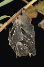 Ch'ien Lee - Spotted-winged Fruit Bat roosting, Bukit Sarang Conservation Area, Bintulu, Borneo, Malaysia