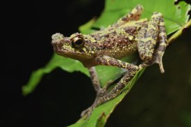 Ch'ien Lee - Bornean Rainbow Toad, unseen since 1924 it was rediscovered in 2011, Sarawak, Borneo, Malaysia