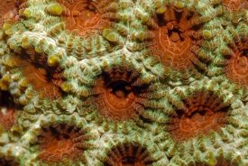 Hans Leijnse - Stone coral detail, Indonesia.