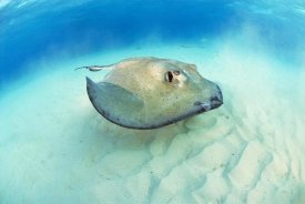 Hans Leijnse - Southern Stingray, Stingray City