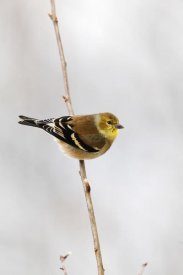 Scott Leslie - American Goldfinch, Canada