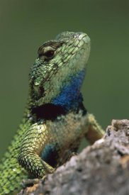 Thomas Marent - Green Spiny Lizard male, Costa Rica