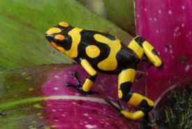 Thomas Marent - Harlequin Poison Dart Frog on bromeliad, Cauca, Colombia