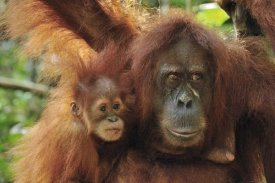 Thomas Marent - Sumatran Orangutan mother with young, Gunung Leuser National Park, northern Sumatra, Indonesia