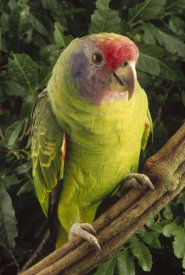 Claus Meyer - Red-tailed Amazon portrait, Atlantic Forest ecosystem, Brazil