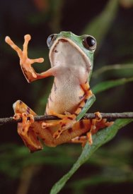 Claus Meyer - Tiger-striped Leaf Frog also known as Barred Leaf Frog, waving, Amazon rainforest, Brazil