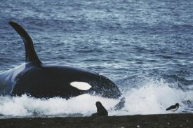 Hiroya Minakuchi - Orca hunting South American Sea Lion group by beaching itself, Peninsula Valdez, Argentina