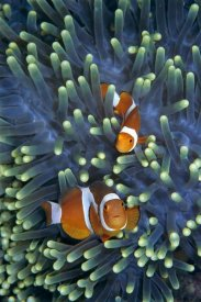 Hiroya Minakuchi - Clown Anemonefish pair in sea anemone tentacles
