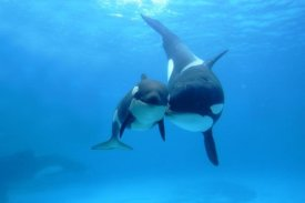 Hiroya Minakuchi - Orca mother and newborn baby, Sea World, Kamogawa, Japan