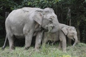 Hiroya Minakuchi - Asian Elephant mother and baby eating grass, Saba, Malaysia
