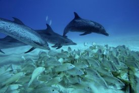 Hiroya Minakuchi - Atlantic Spotted Dolphin trio predating on school of snappers, Bahamas, Caribbean