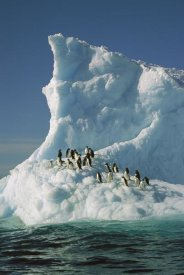 Colin Monteath - Adelie Penguin group riding sculpted iceberg, Terre Adelie Land, east Antarctica