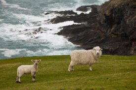 Colin Monteath - Domestic Sheep and lamb near cliff edge, Stony Bay, Banks Peninsula, Canterbury, New Zealand