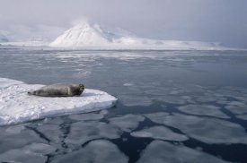 Flip Nicklin - Bearded Seal on ice floe, Norway