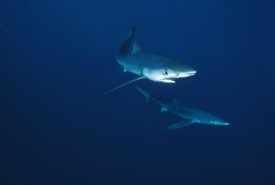Flip Nicklin - Blue Shark pair underwater, California