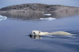 Flip Nicklin - Polar Bear swimming, Wager Bay, Canada