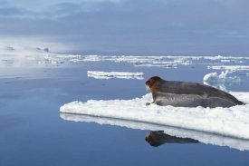 Flip Nicklin - Bearded Seal resting on ice floe, Norway
