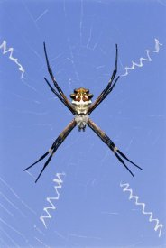 Rolf Nussbaumer - Silver Argiope female on web, Texas