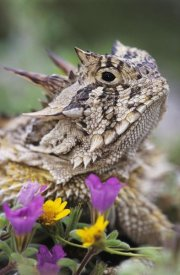 Rolf Nussbaumer - Texas Horned Lizard portrait, Texas