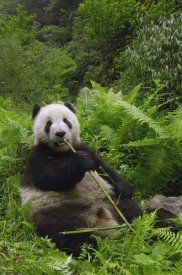 Pete Oxford - Giant Panda eating bamboo, Wolong Nature Reserve, China