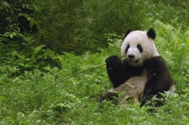 Pete Oxford - Giant Panda sitting in vegetation eating bamboo, Wolong Nature Reserve, China