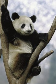 Pete Oxford - Giant Panda in tree, Wolong Valley, China