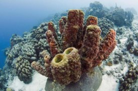 Pete Oxford - Brown Tube Sponge, Bonaire, Netherlands Antilles, Caribbean