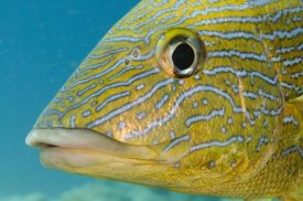 Pete Oxford - Painted Sweetlips, Bonaire, Netherlands Antilles, Caribbean