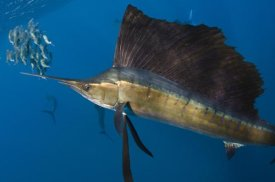 Pete Oxford - Atlantic Sailfish hunting Round Sardinella, Isla Mujeres, Mexico