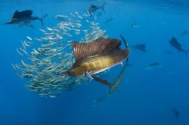 Pete Oxford - Atlantic Sailfish group hunting Round Sardinella, Isla Mujeres, Mexico