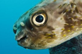 Pete Oxford - Long-spine Porcupinefish in Stove Pipe Sponge, Bonaire, Netherlands Antilles, Caribbean