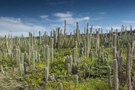 Pete Oxford - Pitayo de Mayo cacti, Washington Slagbaai National Park, Bonaire, Netherlands Antilles, Caribbean