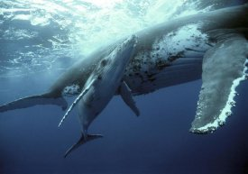 Mike Parry - Humpback Whale mother and calf, Tonga