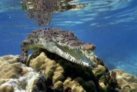 Mike Parry - Saltwater Crocodile underwater, South Australia.