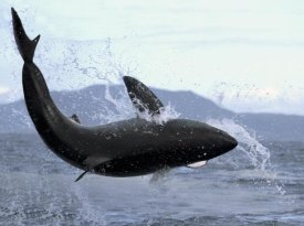 Mike Parry - Great White Shark leaping out of water to catch seal, False Bay, South Africa