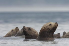 Michael Quinton - Steller's Sea Lion group, Alaska