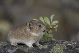 Michael Quinton - American Pika carrying vegetation in mouth, Yukon, Canada