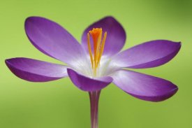 Silvia Reiche - Dutch Crocus flower, Hoogeloon, Netherlands