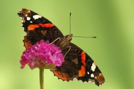 Silvia Reiche - Red Admiral, Hoogeloon, Netherlands. Sequence 13 of 14